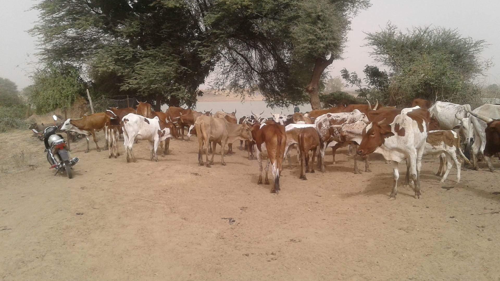 صورة لمواشي موريتانية فى السنغال