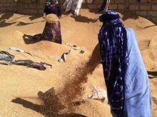 نساء من حي المناء يقومون بجمع القمح المتساقط من الشاحنات المارة على الطريق وتنظيفه وبيعه للحصول على لقمة عيش (صورة تخدم الموضوع)